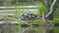 Canada Geese on nesting islands.jpg